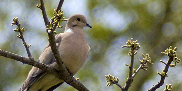 Dove in tree blurred backdrop
