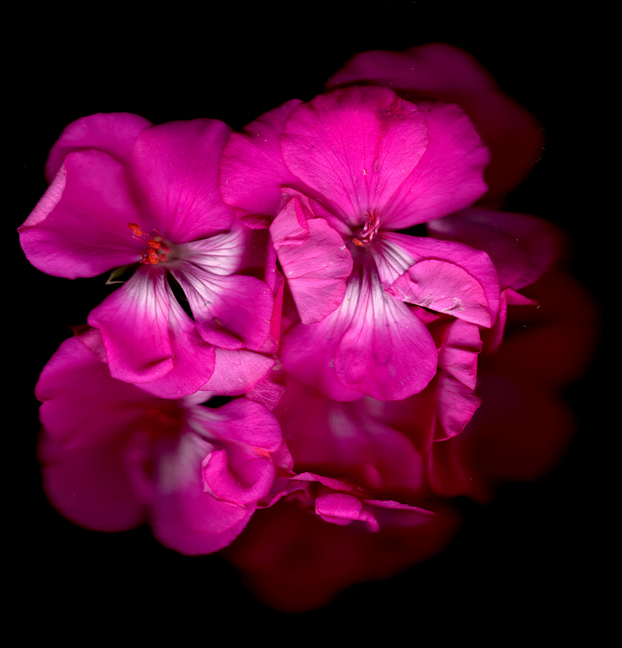 A Scan of a pink flower